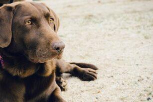 animal-dog-pet-brown