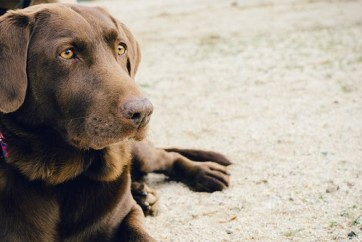 animal-dog-pet-brown